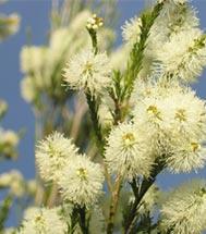 Rosalina flowers