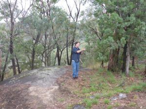 Australian White Cypress Tree