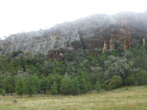 Australian White Cypress Forest