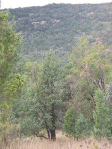 Australian White Cypress Trees
