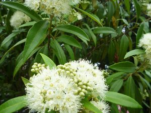 Zest Myrtle flower