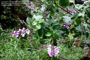 Australian Balm Mint Bush Flowers