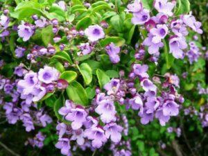 Australian Balm Mint Bush, lilac mint bush flowers