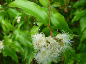 Anise Myrtle essential oil plant in flower