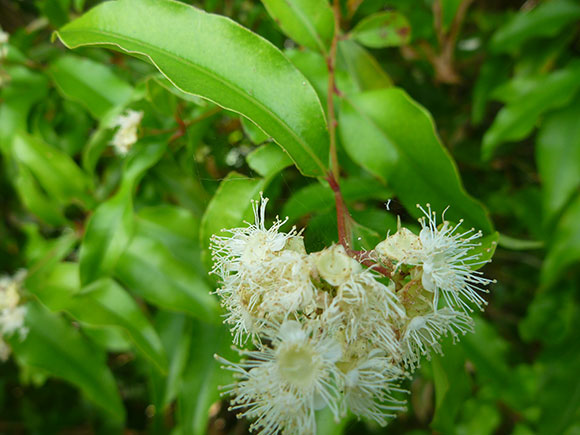 Anise Myrtle in flower