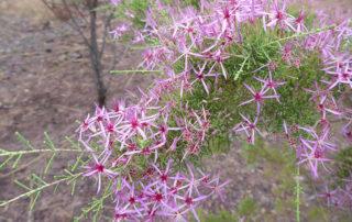 Kimberley Heath flowers, Kimberley Heath Essential Oil