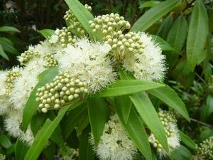 Lemon Myrtle flower