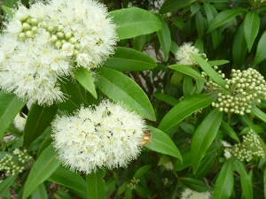 Lemon Myrtle Flower and Bee, lemon myrtle essential oil