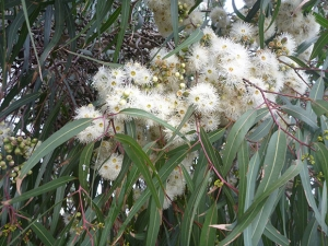 Eucalyptus Lemon Scented Gum Flowers