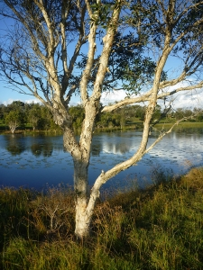 Niaouli (Melaleuca quinquenervia) by Byron Bay lake