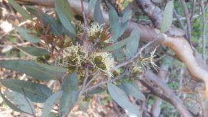 Eucalyptus Blue Mallee essential oil, Eucalyptus Blue Mallee flower