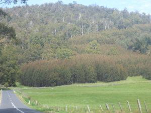 Eucalyptus Blue Gum Plantation