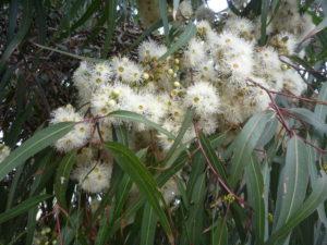 Eucalyptus Lemon Scented Gum flowers