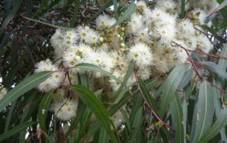 Eucalyptus Lemon Scented Gum flowers, eucalyptus essential oils, Australian eucalyptus oils