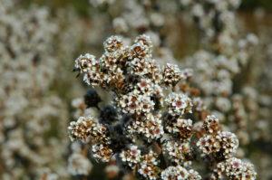 Fragonia flower
