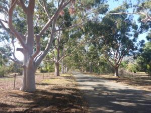 Grove of Lemon Scented Eucalyptus