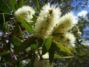 Niaouli in flower, Niaouli Essential Oil, melaluca quinquenervia