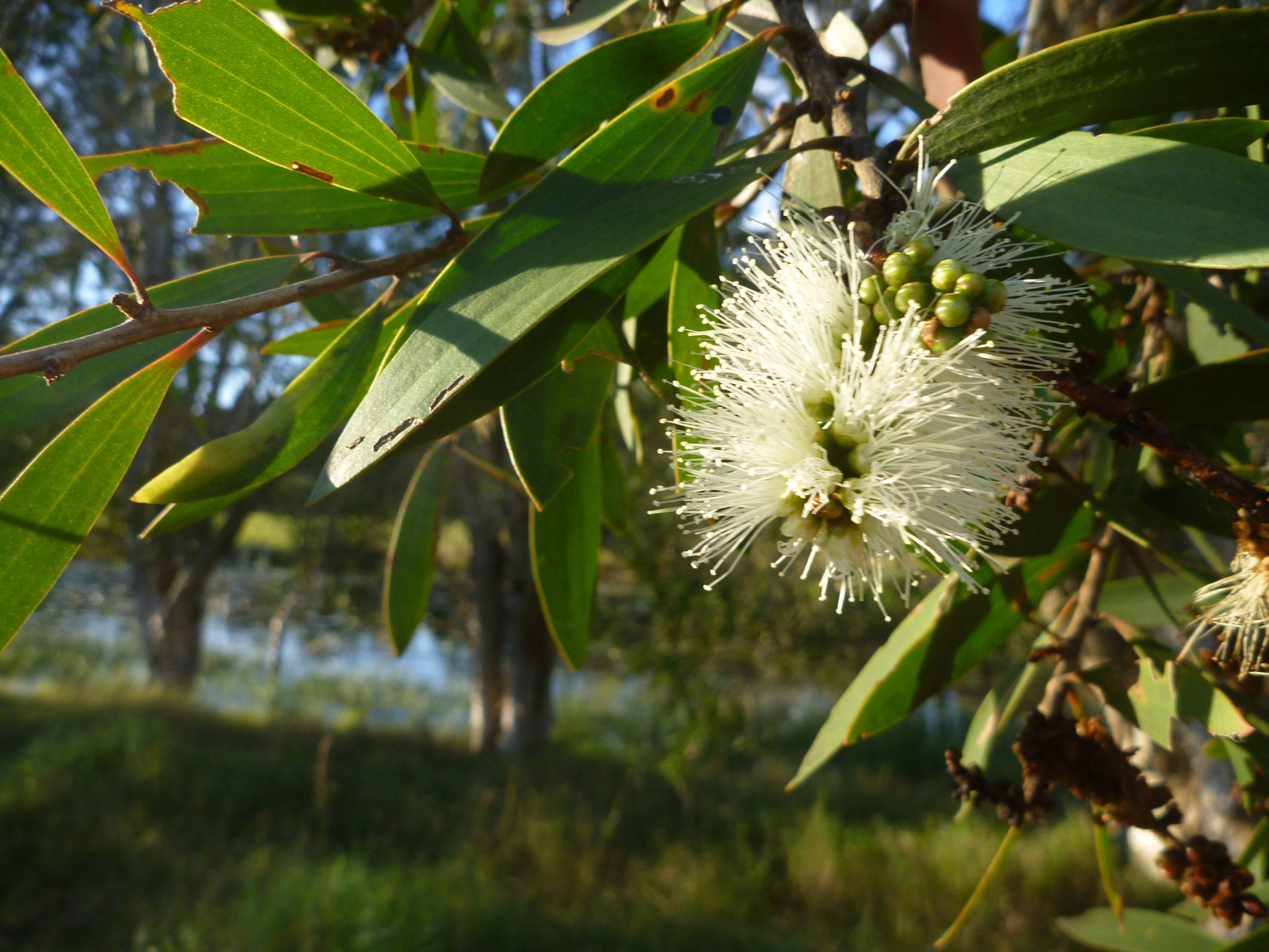 Nerolina flower