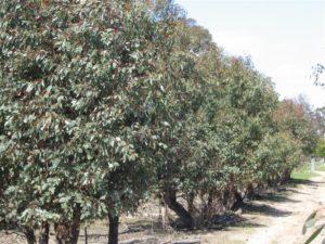 Eucalyptus Peppermint Gum