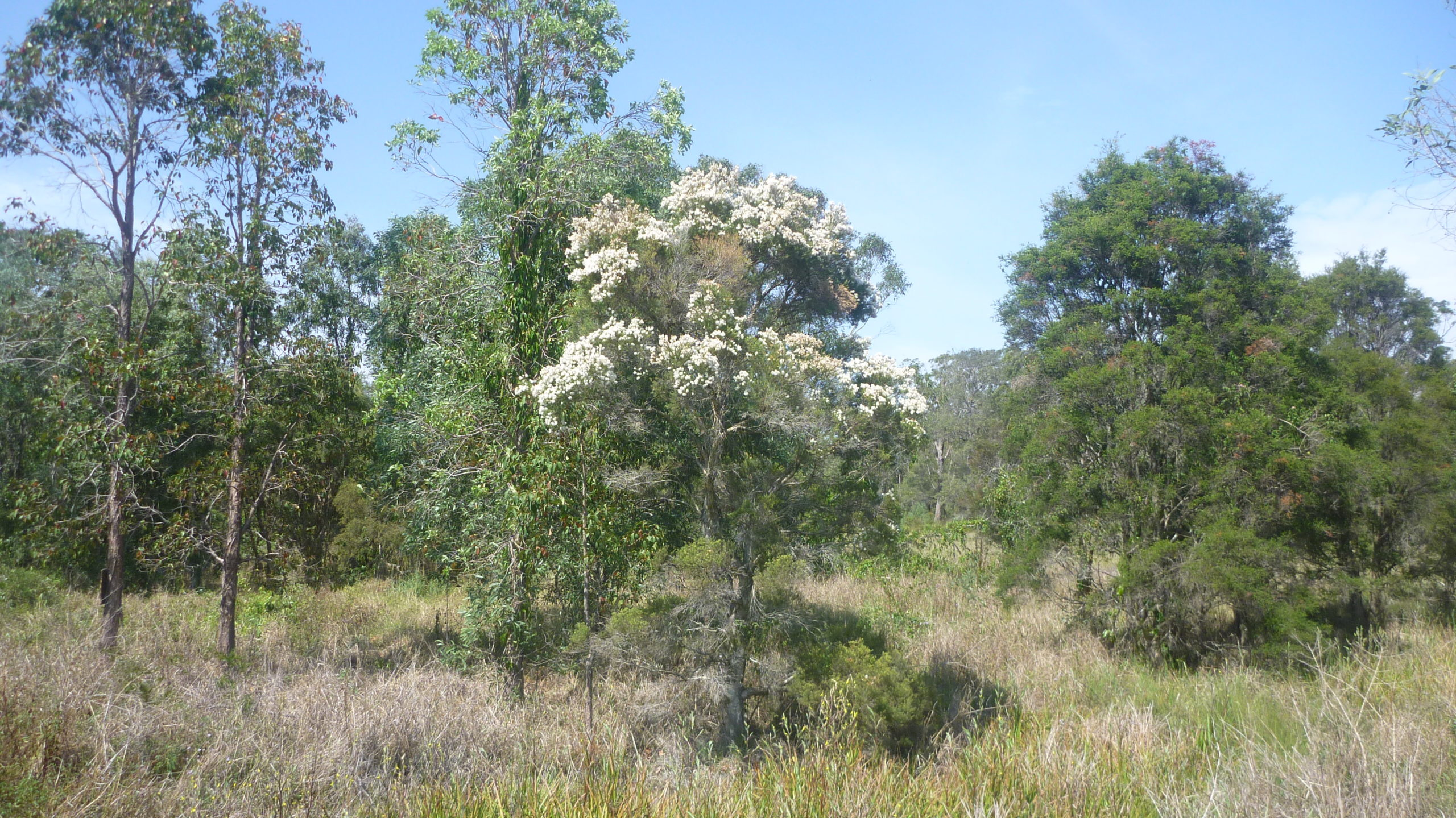 Tea Tree flowering in the wild