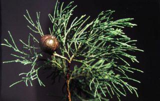 Australian Blue Cypress essential oil, Australian Blue Cypress Essential Oil Benefits