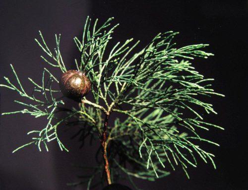 Australian Blue Cypress Essential Oil Benefits