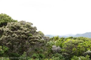 Manuka oil trees